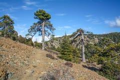 Suchy ananasowy drzewo, letni dzień w górach Zdjęcie Stock