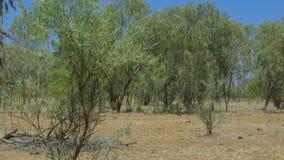 Suchy bushland i drzewa w Australijskim odludziu zdjęcie wideo