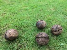 Suchy cerbera odollam pong-pong, othalanga, samobójstwa drzewo używać robić dekoracyjnym artefaktom fotografia royalty free