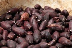 Suchy czerwony arachid obrazy royalty free