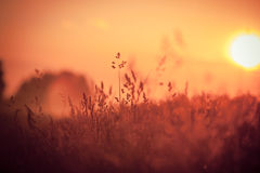 Suchy Czerwony trawy pole Obraz Royalty Free