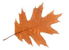 Suchy dębowy liść odizolowywający na białym tle zdjęcia stock
