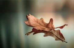 Suchy dębowy liść w jesieni obrazy stock