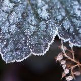 Suchy dębowy liść w mrozie zdjęcie royalty free