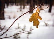 Suchy dębowy liść w zimie obraz royalty free