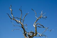 Suchy dębowy drzewo Zdjęcie Stock