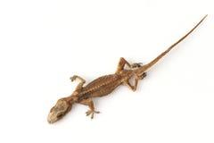 Suchy Domowy gekon, Stający gekon, Domowa jaszczurka fotografia royalty free