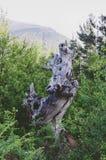 Suchy drzewny bagażnik w lesie fotografia stock