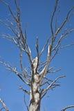 suchy drzewo Zdjęcie Stock