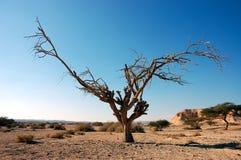 suchy drzewo obrazy royalty free