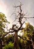 suchy drzewo Obraz Stock