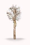 suchy drzewo Zdjęcia Stock