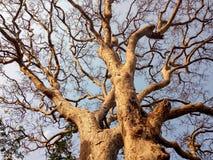 Suchy drzewo, obrazy stock