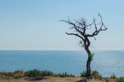 Suchy drzewo na falezie nad morzem obraz stock