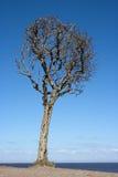 Suchy drzewo na tle niebieskie niebo Zdjęcia Stock