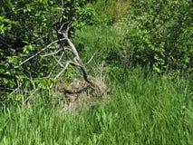 Suchy drzewo na zielonej trawy tle zdjęcia stock