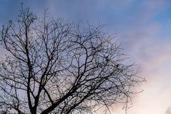 suchy drzewo przy wieczór Obrazy Royalty Free