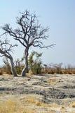 Suchy drzewo w Afrykańskim krzaku zdjęcia stock