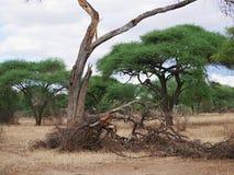 Suchy drzewo w Afryka Zdjęcie Royalty Free