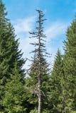 Suchy drzewo w lesie Zdjęcia Stock