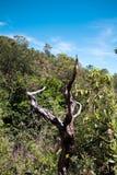 Suchy drzewo w lesie w Brazylijskim cerrado obrazy royalty free