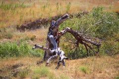 Suchy drzewo w polu w naturze obraz royalty free