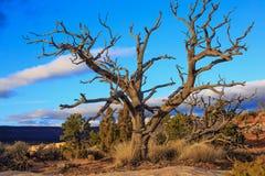 Suchy drzewo w pustkowiu Utah, zdjęcie stock
