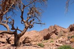 Suchy drzewo w pustyni obrazy stock