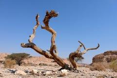 Suchy drzewo w pustynia negew obrazy royalty free