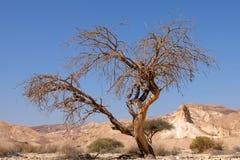 Suchy drzewo w pustynia negew fotografia royalty free