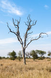 Suchy drzewo w sawannie, Kruger park narodowy afryce kanonkop słynnych góry do południowego malowniczego winnicę wiosna Obraz Stock