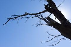Suchy drzewo z niebieskim niebem jako tło Obraz Stock