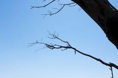Suchy drzewo z niebieskim niebem jako tło Fotografia Royalty Free