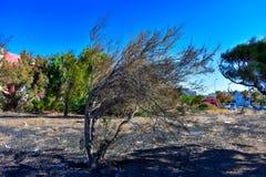 SUCHY drzewo ZGINA wiatrem obrazy stock