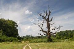 Suchy duży drzewo Obrazy Royalty Free