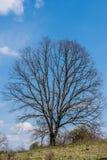 Suchy duży drzewo przeciw niebieskiemu niebu obrazy royalty free