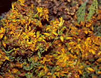 Suchy Hypericum Perforatum Fotografia Stock