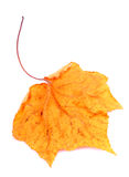 suchy jesień liść obrazy stock