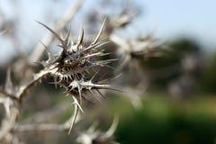 Suchy kłujący kwiat w pustyni obraz royalty free