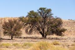 Suchy Kalahari pustyni krajobraz, Kgalagady, Południowa Afryka safari pustkowie Obrazy Royalty Free