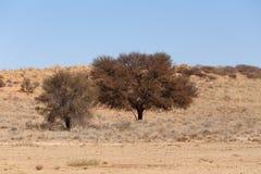 Suchy Kalahari pustyni krajobraz, Kgalagady, Południowa Afryka safari pustkowie Zdjęcia Stock