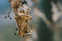 Suchy kolor żółty opuszcza na drzewnym zbliżeniu makro- Fotografia Royalty Free