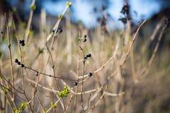 Suchy krzak z jagodami Fotografia Royalty Free