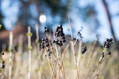 Suchy krzak z jagodami Zdjęcie Royalty Free