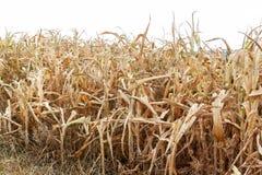 suchy kukurudzy pole gorące letnie dni Brak deszcz suszy gospodarstwo rolne globalne ocieplenie Biedny żniwo obrazy stock