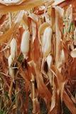 Suchy kukurydzany pole Zdjęcia Stock