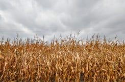 Suchy kukurydzany pole z dramatyczny chmurnym Obrazy Stock