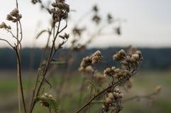 Suchy kwitnienie kwiatu brązu milfoil Dzikie rośliny w łące Jesień zdjęcie stock