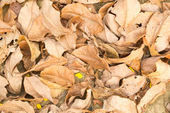 Suchy liść Fotografia Stock