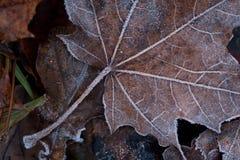Suchy liść klonowy w mrozie obraz stock